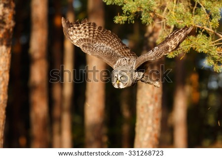 Great Grey Owl with wood background - stock photo