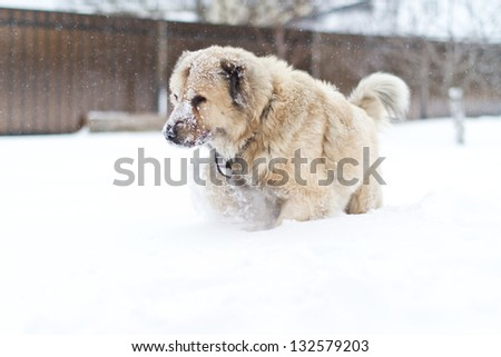 great guard dog walks in the snow in winter - stock photo
