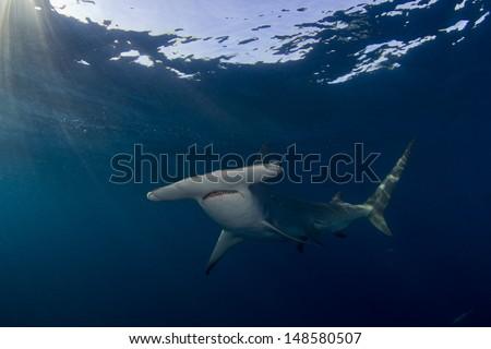 Great Hammerhead Sharks in Bimini, Bahamas - stock photo