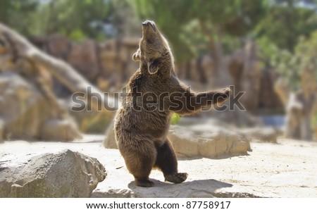 Great happy dancing bear - stock photo