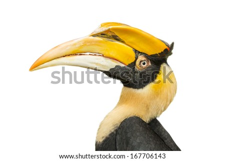 Great hornbill, close up and isolate with white background , thailand - stock photo