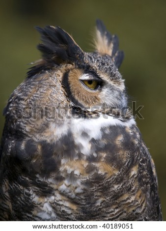 Great horned Howl portrait of a majestic bird. - stock photo