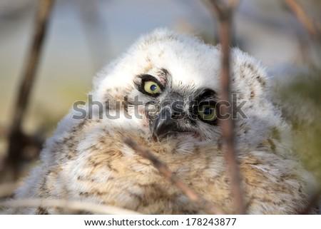 Great Horned Owl (Bubo virginianus)  - stock photo