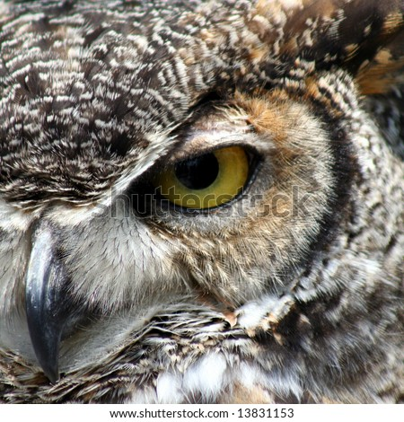 Great Horned Owl eye closeup - stock photo