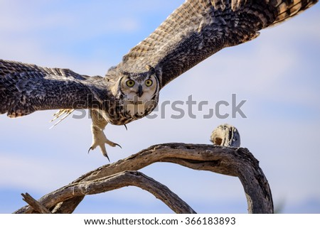 Great horned Owl flying off. - stock photo