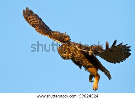 Great Horned Owl in Flight - stock photo