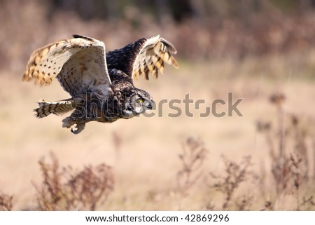 Great Horned Owl in flight with wings raised. - stock photo