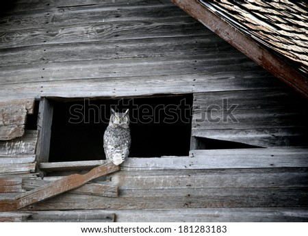 Great Horned Owl in old barn window - stock photo
