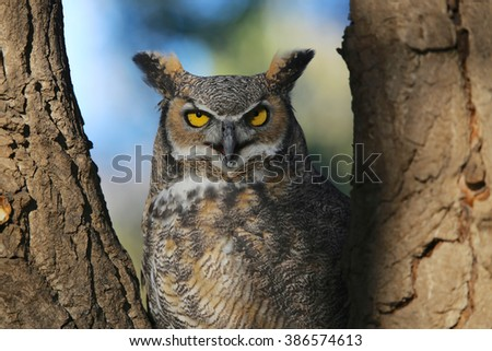 Great Horned Owl in shadow - stock photo