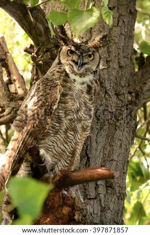 Great horned owl is hard to spot in the cottonwood tree - stock photo