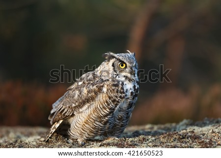 Great horned owl Owl at sunrise in the wonderful light of the wild. Very nice portrait owl with dark forest background. - stock photo