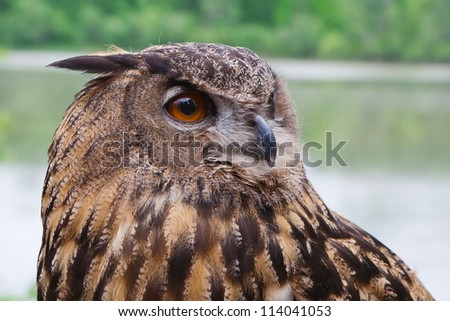 Great Horned Owl shot from close up. - stock photo