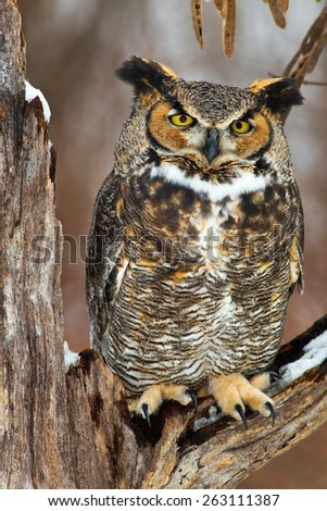 Great Horned Owl sits on a snow covered tree branch in this winter scene. - stock photo