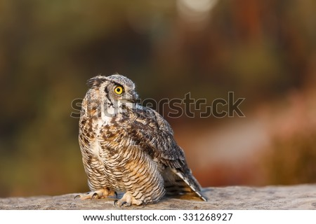 Great horned owl sitting on the rock - stock photo