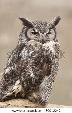 Great Horned Owl Viewed Up Close - stock photo