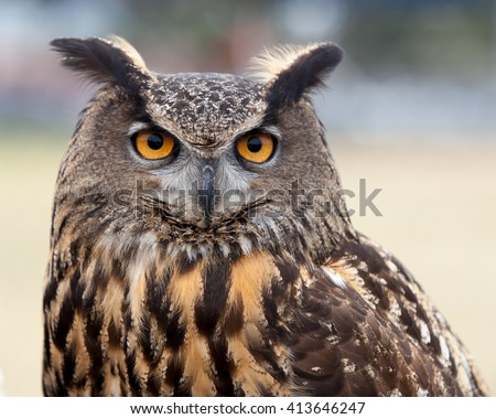 Great Horned Owl / Who are you / A close up of a Great Horned Owl  - stock photo