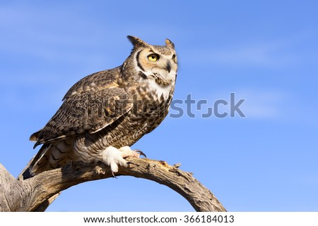 Great Horned Owl with blue sky background. - stock photo