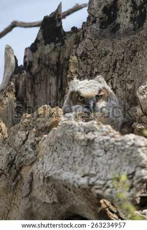 Great Horned Owl young in nest - stock photo