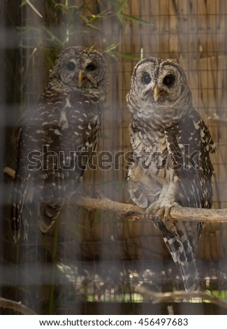 Great horned owls - stock photo
