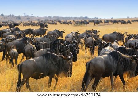 Great migration of antelopes wildebeest, Masai Mara, Kenya - stock photo