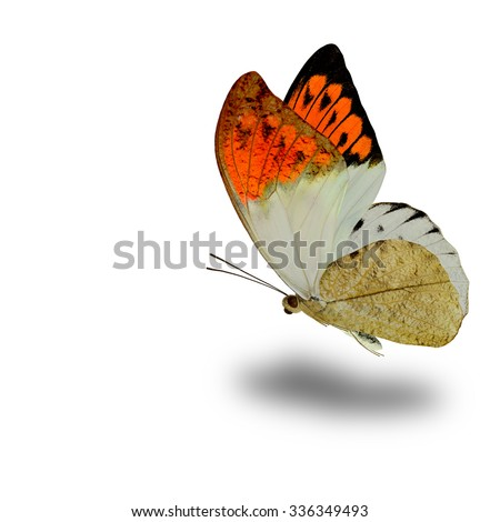 Great Orange Tip (Hebomoia glaucippe) the beautiful flying orange wings butterfly on white background with soft shadow beneath - stock photo