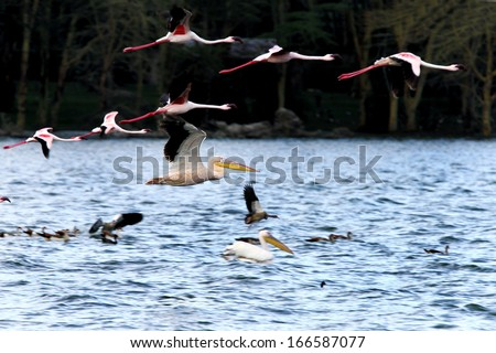 Great Pelican flying with flamingos - stock photo