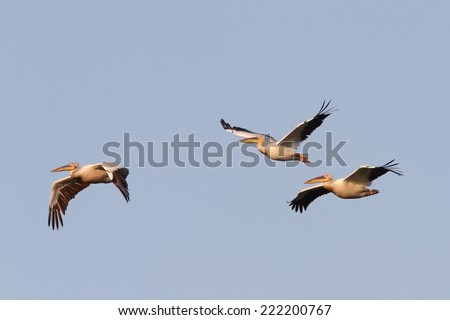 great pelicans ( Pelecanus onocrotalus ) flying in formation over the sky - stock photo