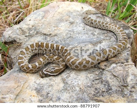 Great Plains Rat Snake, Pantherophis emoryi - stock photo