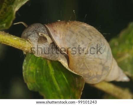 Great pond snail (Lymnaea stagnalis) - stock photo