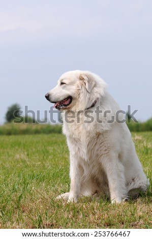 Great Pyrenees sitting on meadow - stock photo