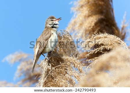 Great Reed Warbler (Acrocephalus arundinaceus).Wild bird in a natural habitat. - stock photo