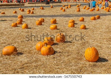 Great selection of pumpkins for sale at local pumpkin patch - stock photo
