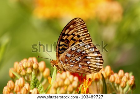 Great Spangled Fritllary enjoying some swee nectar from a flower. - stock photo