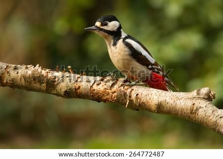 Great Speckled Woodpecker - Grote Bonte Specht - stock photo