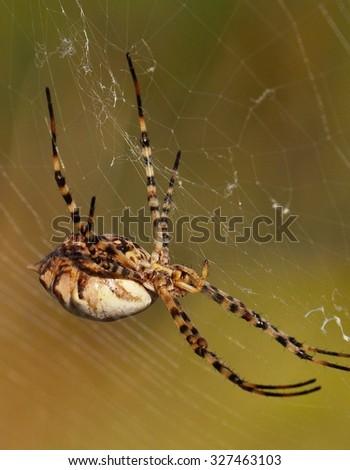 Great spider argiope argentata - stock photo
