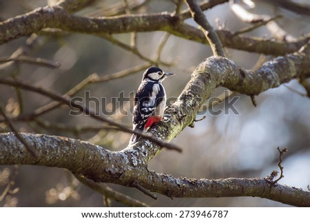Great spotted woodpecker amongst forest tree branches in the morning - stock photo
