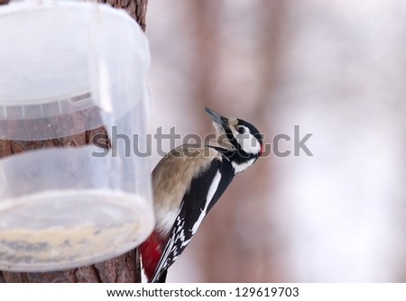 Great Spotted Woodpecker around a plastic bowl in winter woods closeup - stock photo