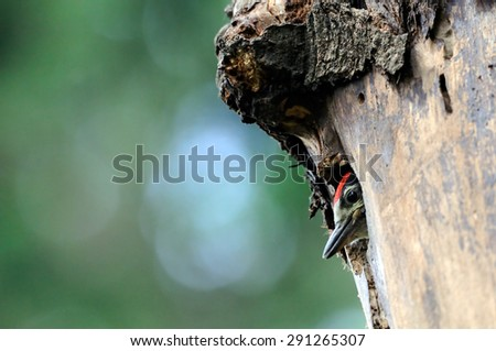 Great Spotted Woodpecker chick in the nest hollow - stock photo