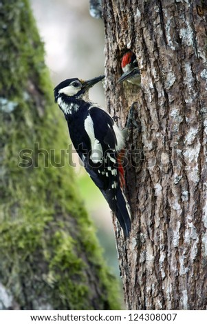 Great Spotted Woodpecker (Dendrocopos major) nesting time in France - stock photo