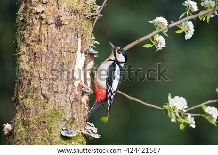 Great spotted woodpecker in tree trunk - stock photo