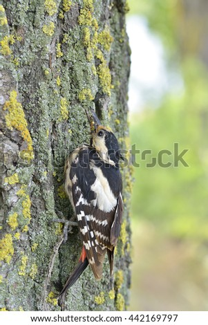 Great spotted Woodpecker perched on a tree trunk vertically - stock photo
