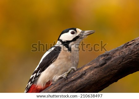 Great spotted woodpecker portrait on autumn background - stock photo