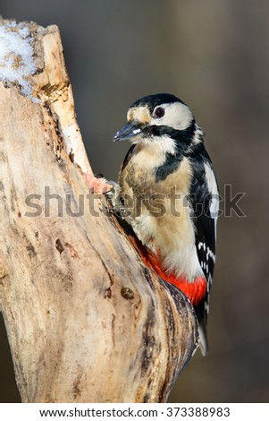 Great spotted woodpecker sitting on the tree - stock photo