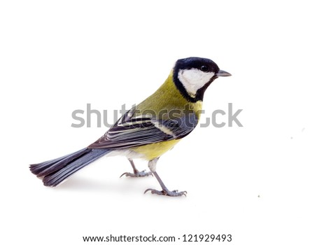Great tit bird isolated on white; during winter period. - stock photo