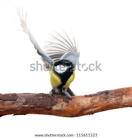 great tit bird, with elegant movement of the wings, on white - stock photo