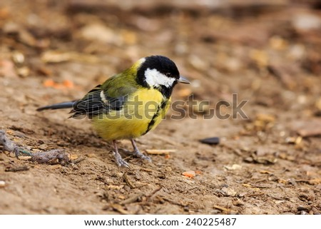 great tit bounces for food - stock photo