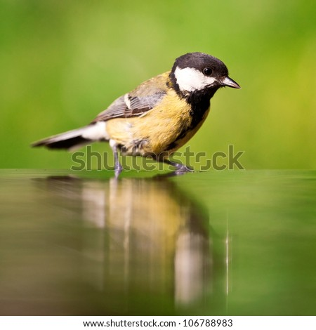 Great tit in the water - stock photo