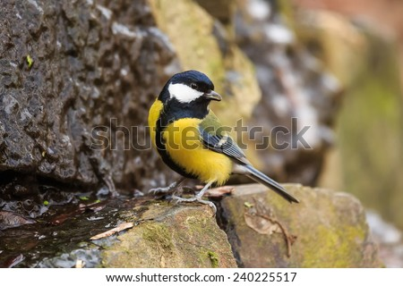 great tit is drinking  - stock photo