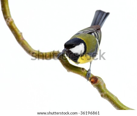 great tit leaning forward on a branch, on white - stock photo