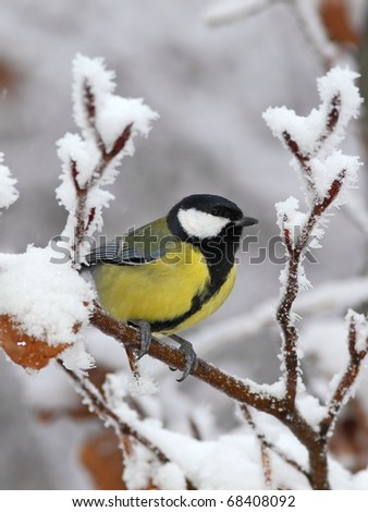 Great tit on a snowy branch, with red leafs 1. - stock photo